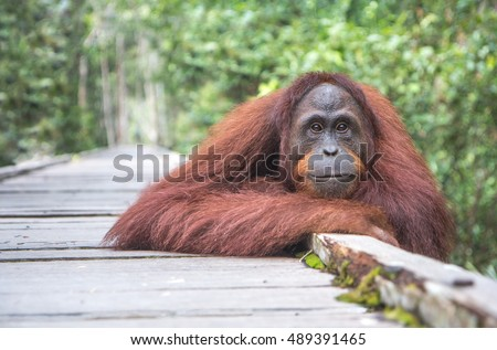 Wild female orangutan posing on a wooden track in the jungle of Kalimantan, Indonesia.