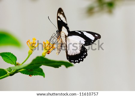 Wild female Papilio Dardanus butterfly feeding on yellow flowers - stock photo