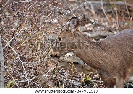 Wild female whitetail deer, Odocoileus virginianus, doe eating twigs branches from a bush in autumn