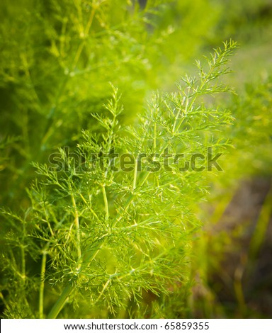 Wild fennel / aniseed with shallow depth of field