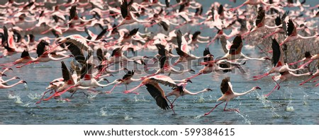 Wild flamingo birds in Kenya. Africa. Nakuru National Park. Lake Bogoria National Reserve. An excellent illustration.