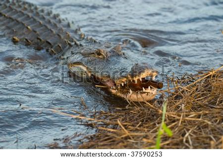 Wild Florida Alligator - stock photo