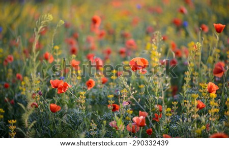 Wild flower meadow with beautiful red poppy flowers - stock photo