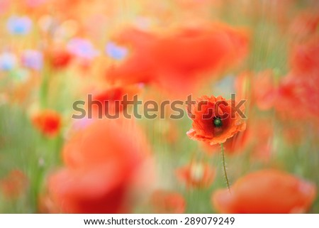 Wild flower meadow with poppies and Cornflowers with selective focus on poppy - stock photo