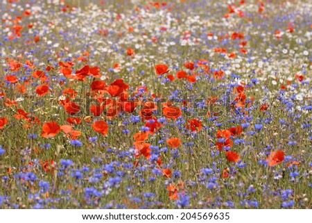 Wild flower meadow with selective focus on poppy  - stock photo