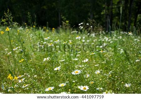 Wild flower summer field - stock photo