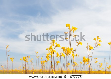 Wild flower, Utricularia bifida ,yellow flowers in golden paddy field on bright day, design for nature background with copy space