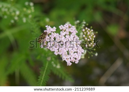 Wild Flowers, Common Yarrow (Achillea millefolium) being pollinated by a small bee - stock photo