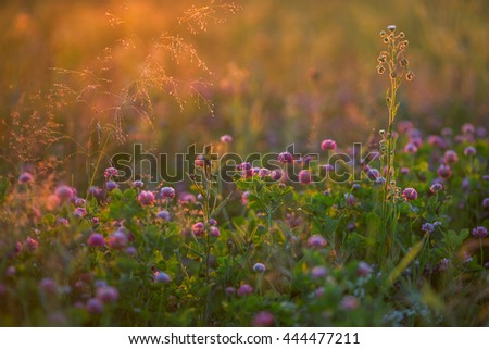 Wild flowers in the sunlight at sunset. Selective focus with shallow depth of field, natural background. - stock photo