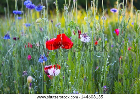 Wild flowers, including red poppies, on a large field. - stock photo