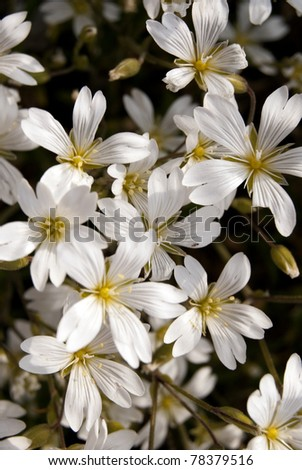 Wild flowers on alpine meadows - stock photo