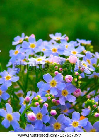 wild forget me not flowers - stock photo