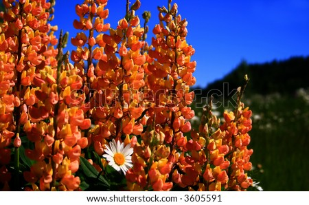 Wild foxglove growing in high mountain meadow in Idaho - stock photo
