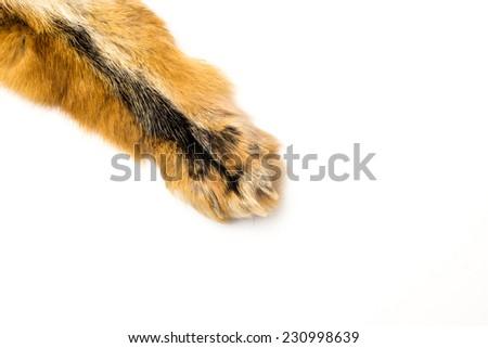 Wild fur animal paw isolated on white  background - stock photo
