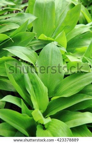 wild garlic plant as healthy herbs for eating