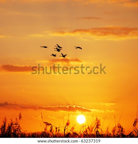 wild geese flying in the sky at sunset - stock photo