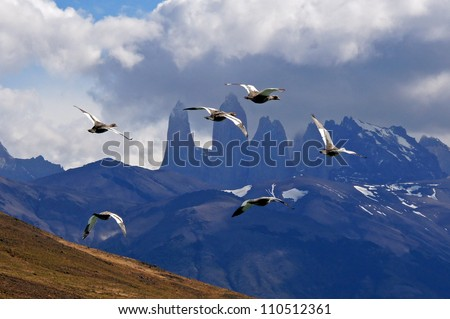 Wild geese in Torres del Paine - stock photo
