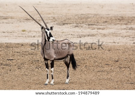 Wild Gemsbok antelope standing at attention in the Kalahari desert