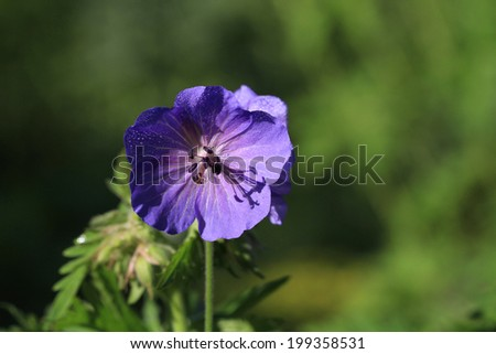 Wild Geranium Flower - stock photo