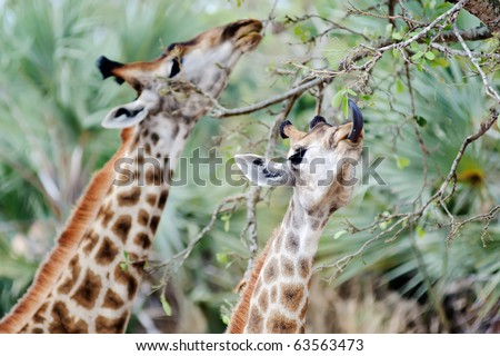 Wild Giraffe feeding in the bush of Kruger Park, South Africa