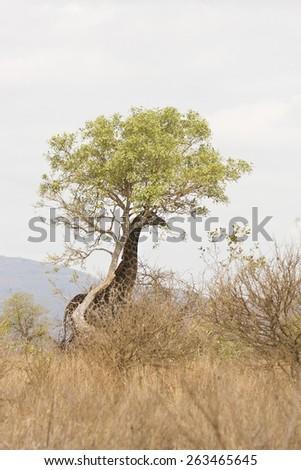 wild giraffe hiding under a tree, Kruger, South Africa - stock photo