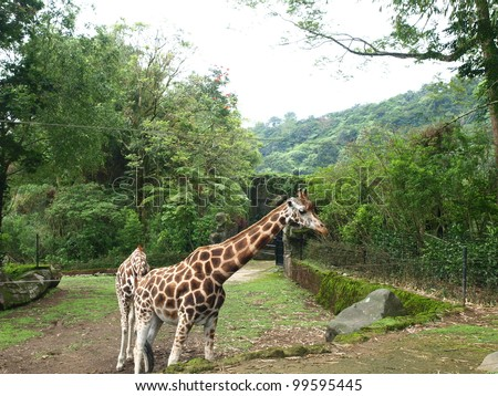 wild giraffe in safari park - stock photo