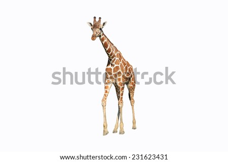 Wild giraffe isolated - stock photo