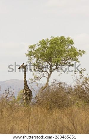 wild giraffe walking in the savannah, Kruger, South Africa - stock photo