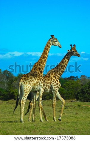 Wild giraffes in South Africa - stock photo