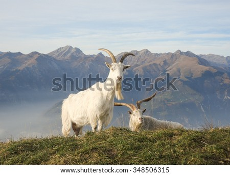 Wild goat at mountain - stock photo