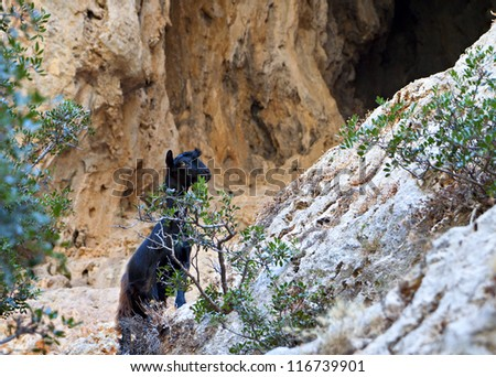 """Wild goat of the """"Kri Kri"""" family found only inside the gorges of Crete island in Greece. - stock photo"""