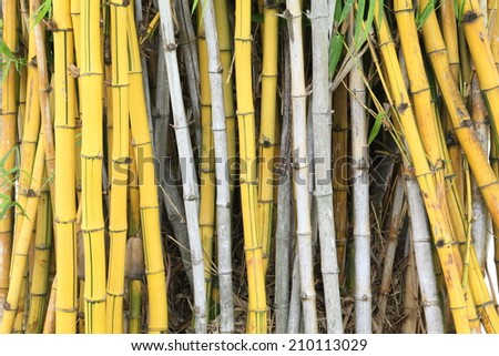 wild golden bamboo stems strand background texture - stock photo