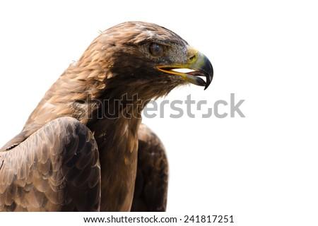 Wild golden eagle with open beak the bird of prey profile portrait isolated on white - stock photo