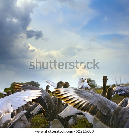 wild goose chase on green lawn with daisies and blue cloudy sky background - stock photo