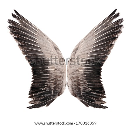 Wild goose wing. Isolated on white background. - stock photo