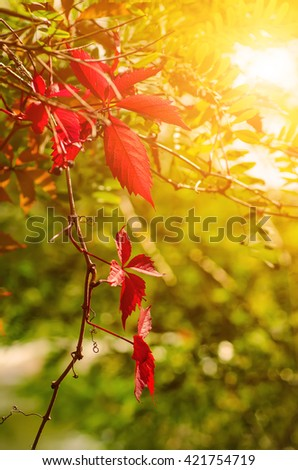 Wild grape leaves, natural sunny seaasonal autumn background with copy space - stock photo