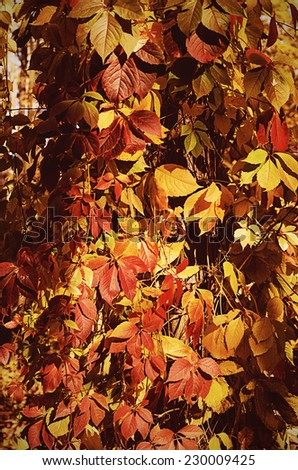 Wild grape red leaves, natural seaasonal autumn vintage background - stock photo