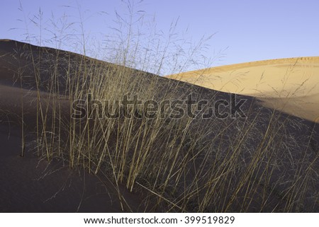 Wild grass growing in the sand dunes at Coral pink sand dunes State park Utah