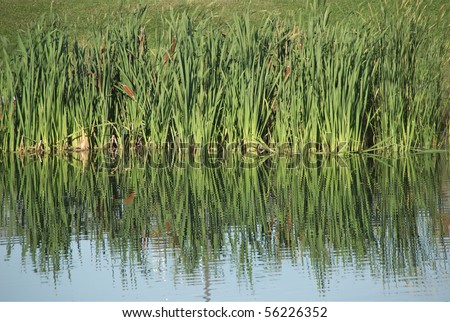 Wild grass reflected on blue water in summer.