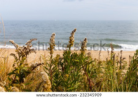 Wild grasses growing along the shores of the Atlantic ocean in Delaware. - stock photo