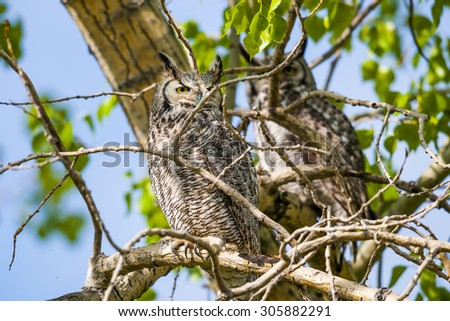 Wild Great Horned Owl perched in a tree in springtime - stock photo