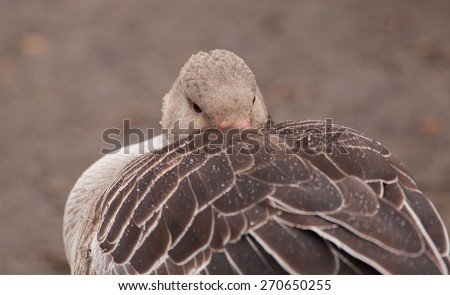 Wild grey goose (Anser anser) sleeping in the rain hiding the beak in the feathers