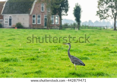 Wild grey heron on a bright green grass in a dutch countryside - stock photo