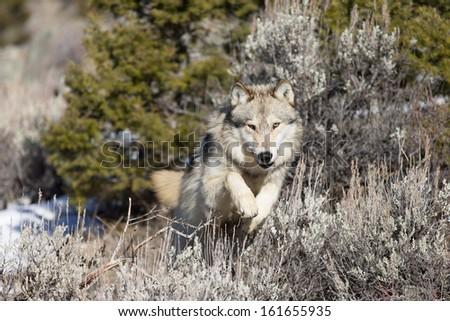 Wild Grey Wolf - stock photo