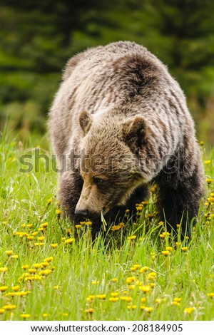 Wild Grizzly bear feeding on summer foliage, Kananaskis Country Alberta Canada