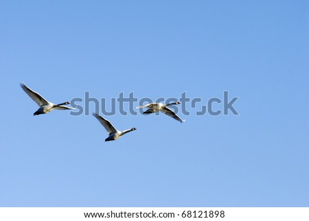Wild group of swans flying - stock photo