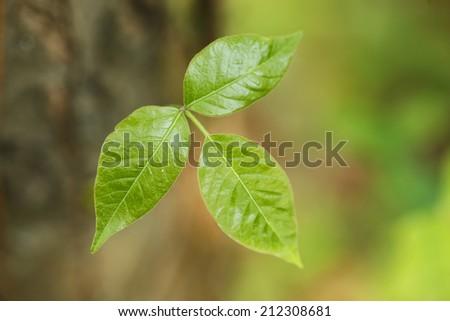 Wild growing poison ivy - stock photo