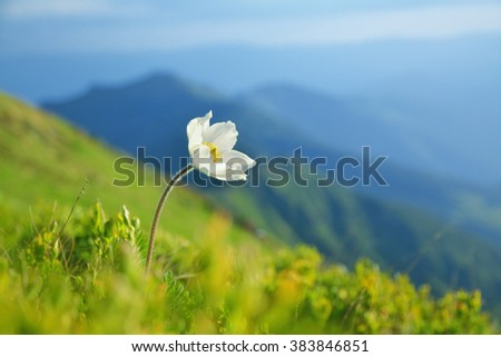 Wild growing white pulsatilla. Warm spring in the mountains. - stock photo