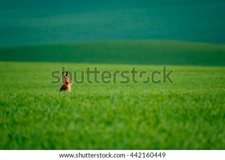 Wild hare in the green field - stock photo