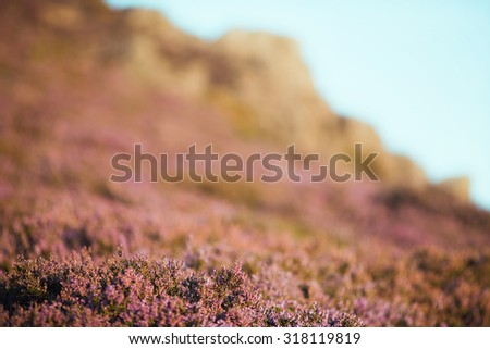 Wild Heather Flowers with Blurred Rocks in Background - stock photo